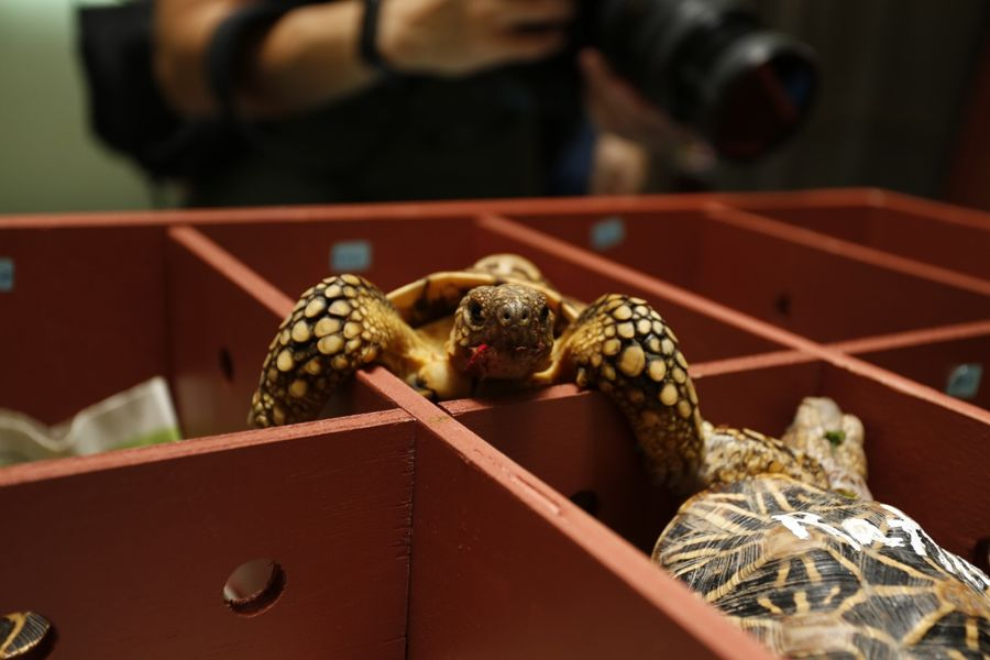 One of the rescued tortoises all set to come back to India