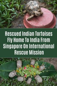 Rescued Indian Tortoises Fly Home To India From Singapore On International Rescue Mission
